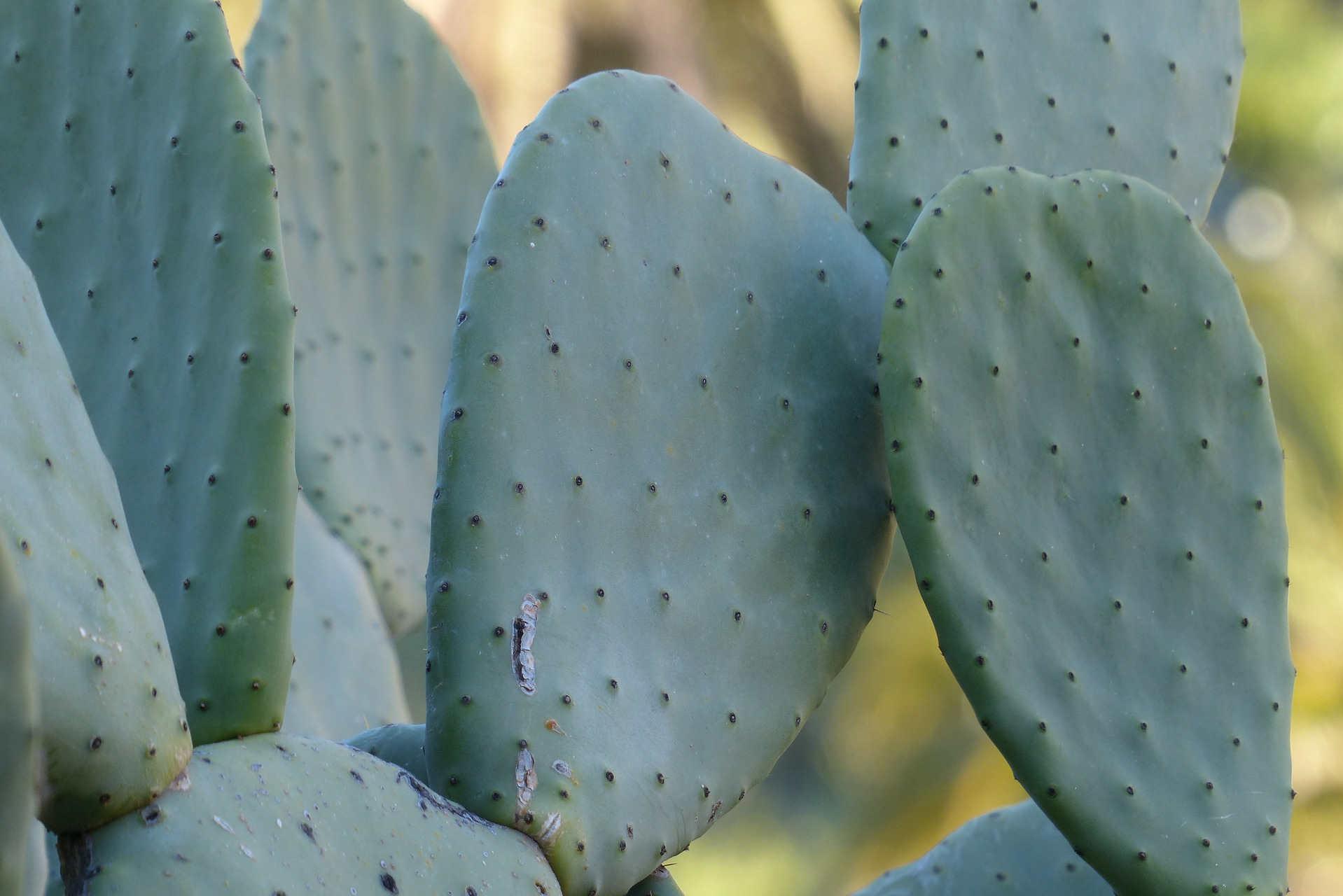 Nopal cactus voor productie cactusleer